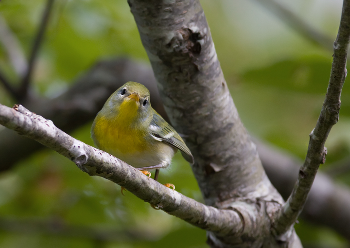 A Northern Parula investigates birders on Assateague Island, Maryland (9/26/2009).