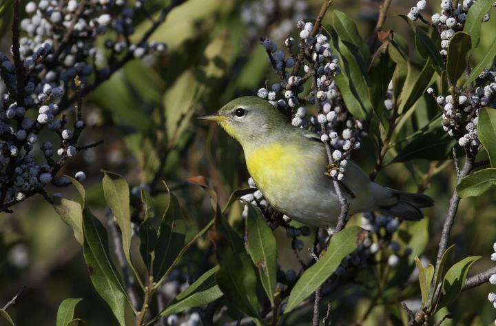 A Northern Parula in Worcester Co., Maryland (10/5/2008). Photo by Bill Hubick.
