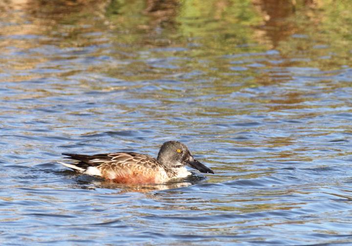 A Northern Shoveler at South Point, Worcester Co., Maryland (11/12/2010). Photo by Bill Hubick.