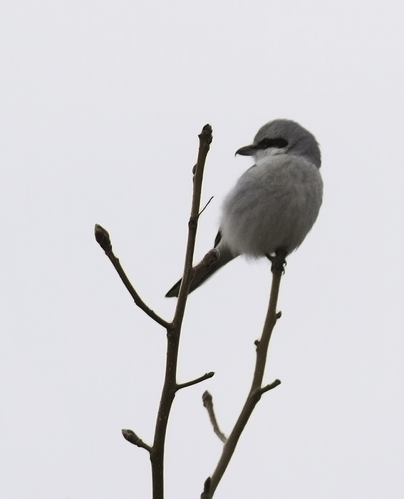 The continuing Northern Shrike that has successfully wintered on Assateague Island, Maryland (2/27/2011). Photo by Bill Hubick.