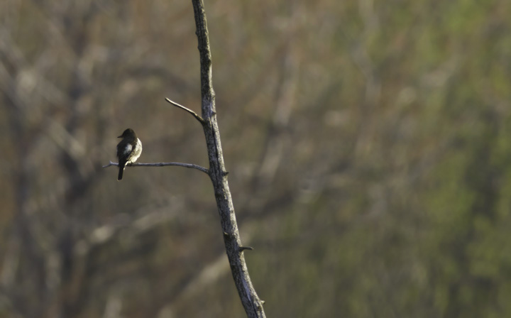An Olive-sided Flycatcher at Finzel Swamp in Garrett Co., Maryland (5/21/2011). Photo by Bill Hubick.