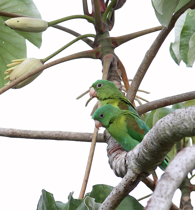 Orange-chinned Parakeets enjoying the good life in Gamboa, Panama (July 2010). Photo by Bill Hubick.