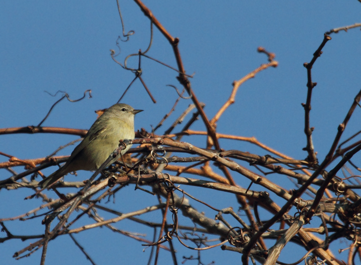 An Orange-crowned Warbler at Point Lookout, Maryland (11/20/2010). Photo by Bill Hubick.