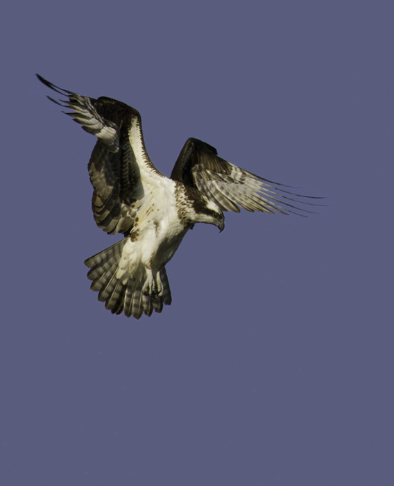 An Osprey hovers before a plunge in Garrett Co., Maryland (4/30/2011). Photo by Bill Hubick.