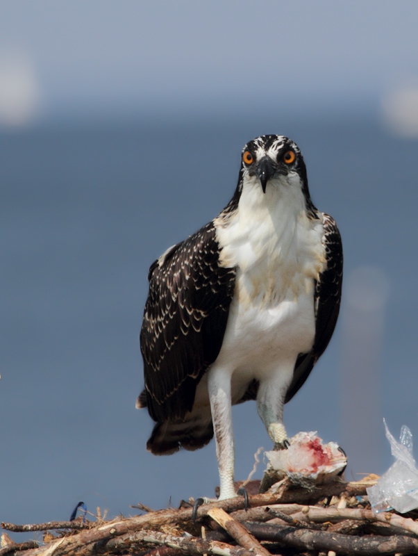 A juvenile Osprey off Point Lookout, Maryland (8/7/2010). Photo by Bill Hubick.