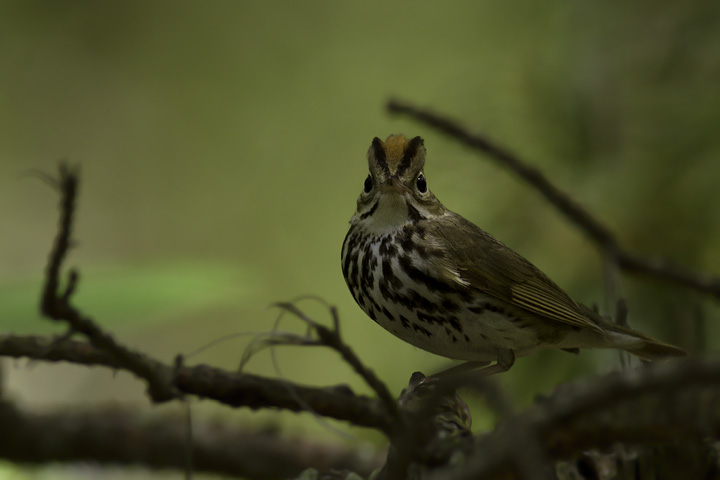 An Ovenbird's attempt to terrify me has the opposite effect - Somerset Co., Maryland (5/11/2011). Photo by Bill Hubick.