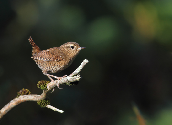 For comparison, here is a Pacific Wren, which was just recently split as a new species from Winter Wren (Cannon Beach, Oregon, 9/3/2010). Photo by Bill Hubick.