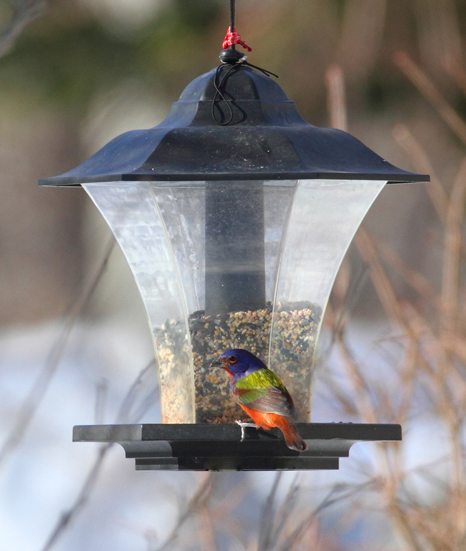 A stunning male Painted Bunting in Prince George's Co., Maryland (2/14/2010). Thanks for the hospitality, Dorothy! Photo by Bill Hubick.