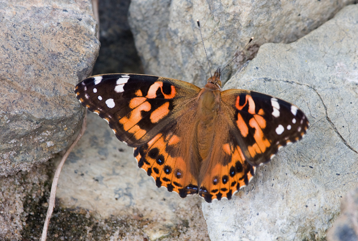 A Painted Lady on Assateague Island, Maryland (9/26/2007).