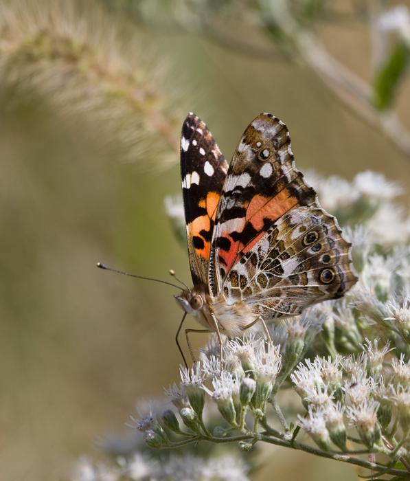 A beautiful Painted Lady at Eastern Neck NWR, Kent Co., Maryland (10/1/2009).