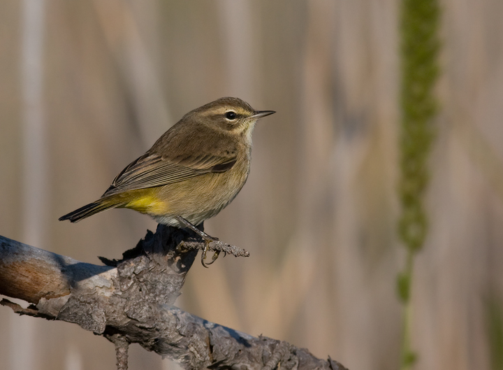 Western Palm Warbler at Eastern Neck NWR, Maryland (10/1/2009).