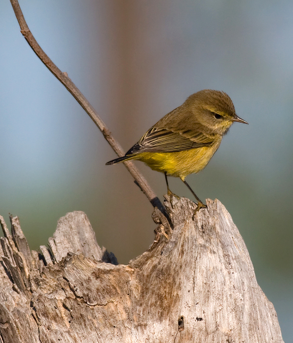 Yellow Palm Warbler at Eastern Neck NWR, Maryland (10/1/2009).
