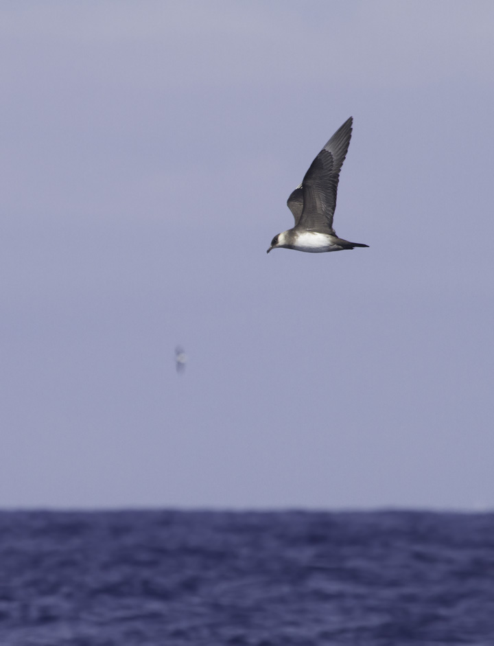 A Parasitic Jaeger permits stunning views offshore of Cape Hatteras, North Carolina (5/28/2011). Photo by Bill Hubick.