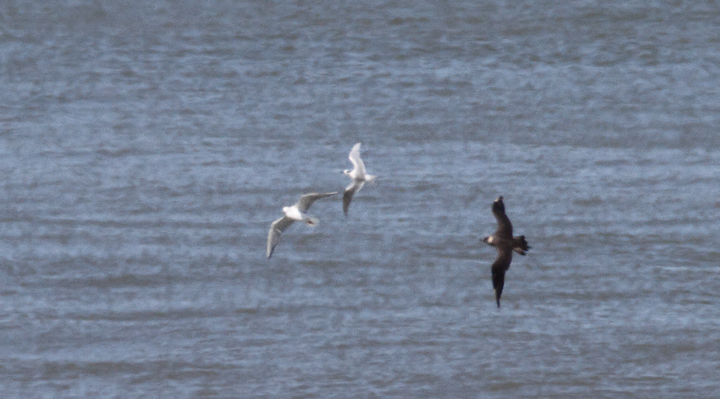 A very distant Parasitic Jaeger beating up the local Forster's Terns and Bonaparte's Gulls - near St. Augustine, Florida (2/28/2010). Photo by Bill Hubick.