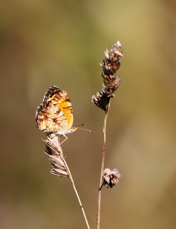 The less familiar side of the abundant Pearl Crescent - Anne Arundel Co., Maryland (9/15/2010). Photo by Bill Hubick.