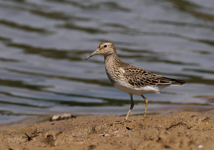 Pectoral Sandpipers at Triadelphia Reservoir, Montgomery Co., Maryland (9/19/2010).  Photo by Bill Hubick.