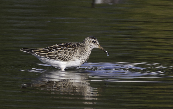 A Pectoral Sandpiper at Horsehead, Queen Anne's Co., Maryland (10/4/2008). Photo by Bill Hubick.