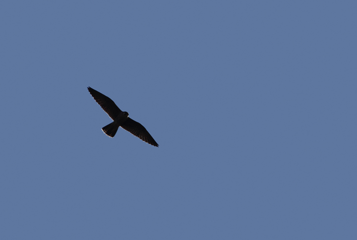 A Peregrine Falcon soars over Assateague Island, Maryland (10/10/10). Photo by Bill Hubick.