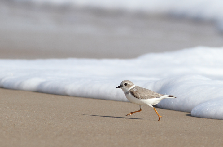 A Piping Plover lingers on Assateague Island, Maryland (11/7/2009). This     bird was feeding at the surf line, shaking a foot repeatedly to stir up its tiny prey items.