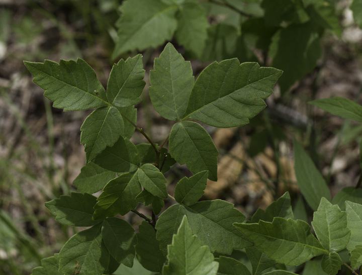 Far more rare in Maryland than in the West, this Poison Oak was a rare find that Hans pointed out in Allegany Co., Maryland (6/4/2011). Photo by Bill Hubick.