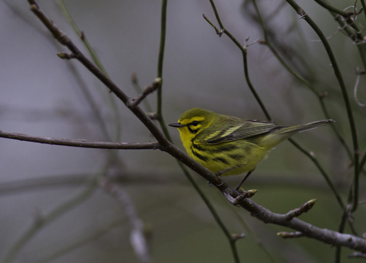A newly returned Prairie Warbler in the Nassawango area of Wicomico Co., Maryland (4/16/2011). Photo by Bill Hubick.