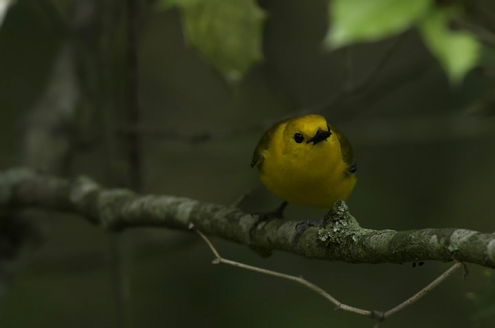 A Prothonotary Warbler in Wicomico Co., Maryland (5/11/2011). Photo by Bill Hubick.