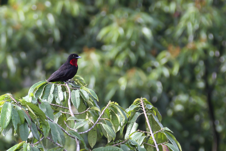 A distant male Purple-throated Fruit-crow (Panama, July 2010). Photo by Bill Hubick.