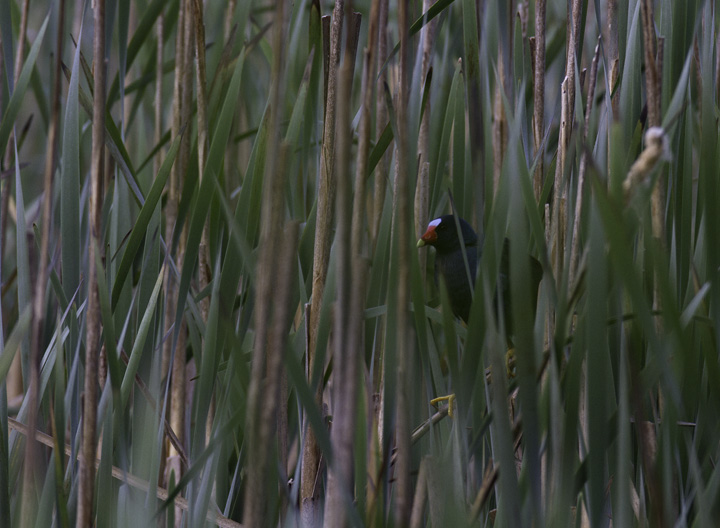 A Purple Gallinule at Hughes Hollow, Montgomery Co., Maryland (5/3/2011). An excellent find by Dave Powell!  Photo by Bill Hubick.