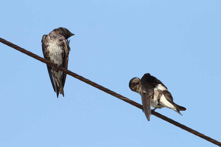 Purple Martins at Chino Farms, Maryland (6/19/2010). Photo by Bill Hubick.