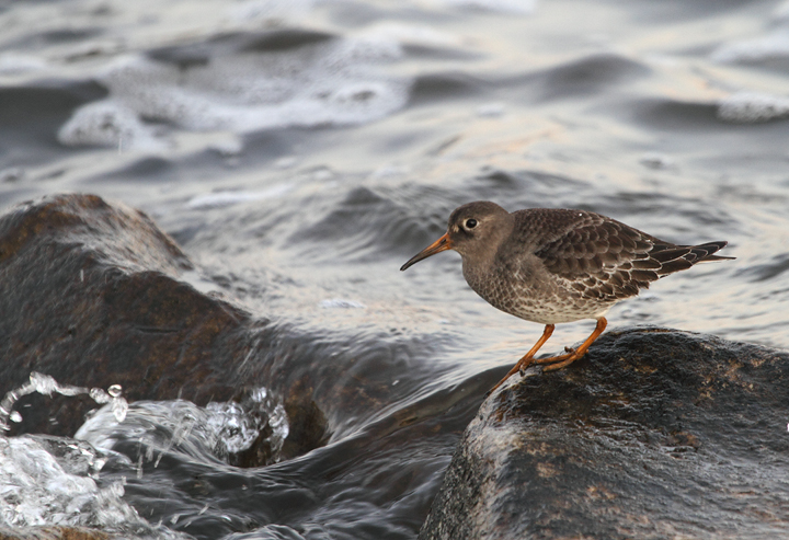 A Purple Sandpiper found by Jim Peters at Fort McHenry NM (11/22/2010). According to Keith Costley, this was a new species (#258) for Fort McHenry. Photo by Bill Hubick.