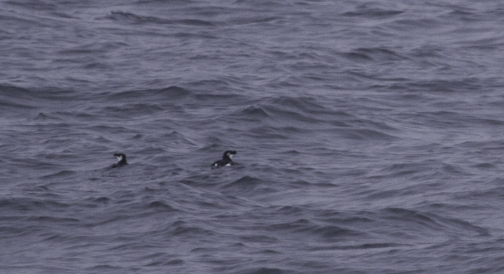 A couple Razorbills make a brief appearance in Delaware waters (2/5/2011). Photo by Bill Hubick.