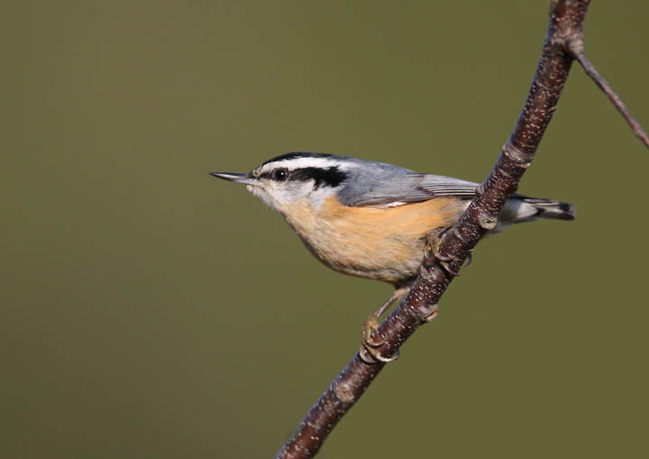 Bill Hubick Photography - Red-breasted Nuthatch (Sitta
