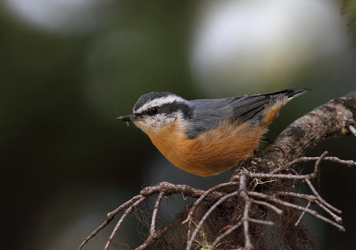 A Red-breasted Nuthatch on Mount Hood, Oregon (9/2/2010). Photo by Bill Hubick.
