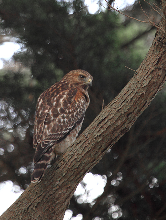 A Red-shouldered Hawk - a juvenile of the coastal/California subspecies - at Lands End, California (9/23/2010). Photo by Bill Hubick.