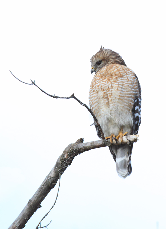 An adult Red-shouldered Hawk in Howard Co., Maryland (1/23/2011). Photo by Bill Hubick.