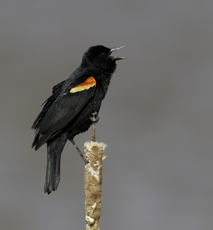 A Red-winged Blackbird defends prime real estate in Frederick Co., Maryland (4/17/2011). Photo by Bill Hubick.