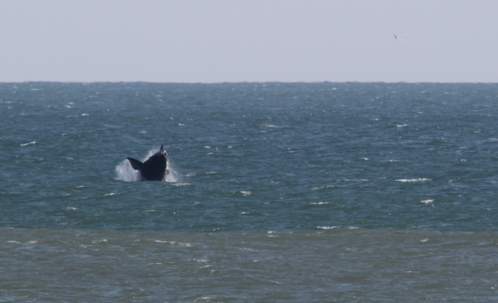 Atlantic Right Whales off Matanzas Inlet near St. Augustine were the rarest sighting of the trip. With a global population of only about 400 individuals, it was amazingly good fortune that we got to enjoy this mother and calf. Good job, Kim Hafner, for spotting them! The first three images show the mother, while the remaining images show the playing calf. Click any image to view higher-resolution versions. Hopefully the images of the mother will be sufficient for the research team to identify her. Photo by Bill Hubick.
