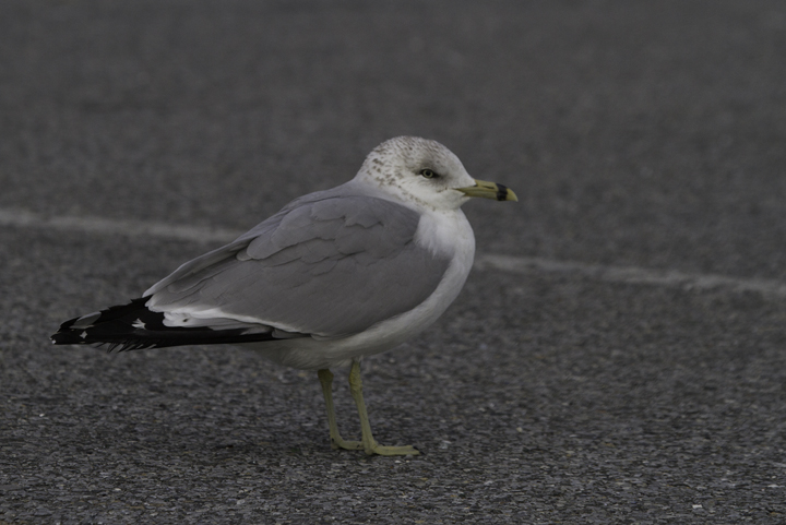 A second-cycle Ring-billed Gull at the Ocean City Inlet, Maryland (2/26/2011). Photo by Bill Hubick.