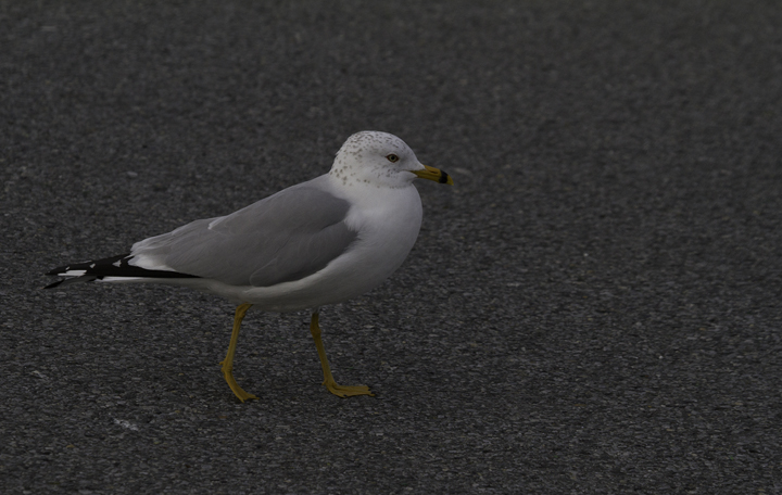 An adult Ring-billed Gull with especially bright bare parts - Ocean City Inlet, Maryland (2/26/2011). Photo by Bill Hubick.