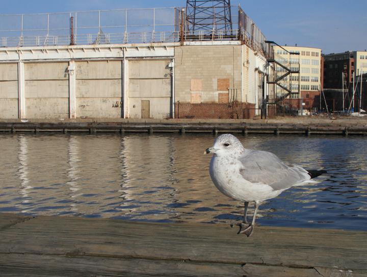 A second-cycle Ring-billed Gull at Fells Point, Baltimore, Maryland (12/29/2010). Photo by Bill Hubick.