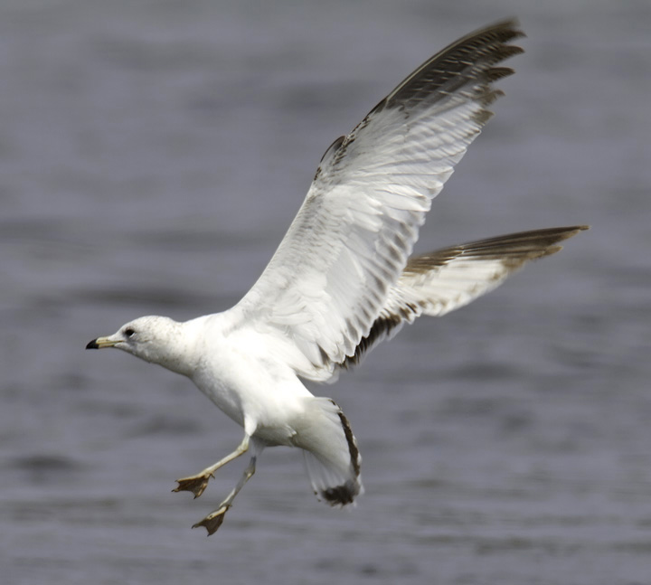 A first-cycle Ring-billed Gull in Somerset Co., Maryland (4/10/2011). Photo by Bill Hubick.