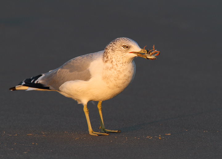 A Ring-billed Gull enjoys a crab feast in Ocean City, Maryland (11/7/2009).