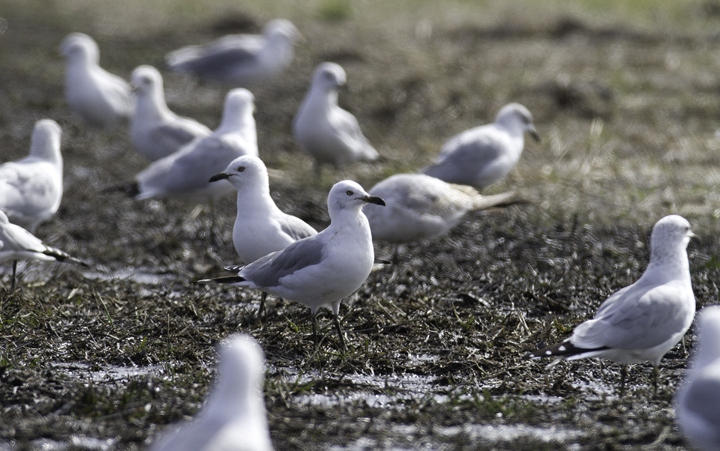 Many of the 1,600 Ring-billed Gulls had black bills from the mud - Dorchester Co., Maryland (2/27/2011). Photo by Bill Hubick.