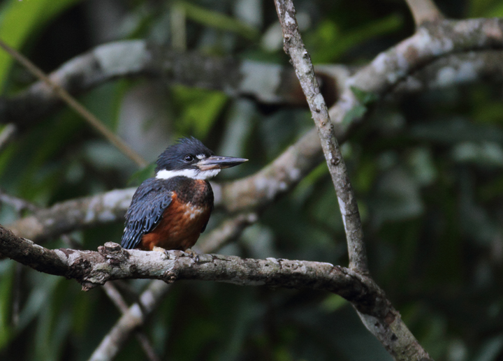 A Ringed Kingfisher poses nearby at the Ammo Ponds, Gamboa, Panama (July 2010). Photo by Bill Hubick.