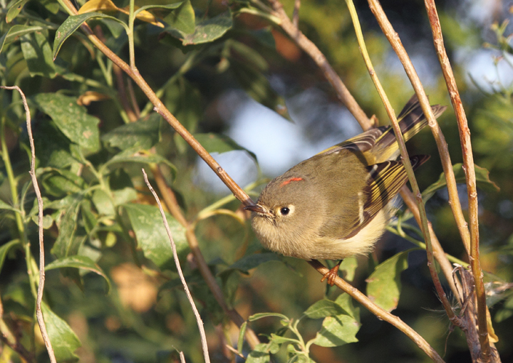 Behold the fury of the mighty Ruby-crowned Kinglet - Assateague Island, Maryland (10/30/2010). Photo by Bill Hubick.