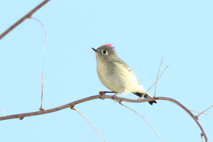 A Ruby-crowned Kinglet terrifies all present with its intimidating ruby crown feathers (Point Lookout, MD, 12/6/2009).