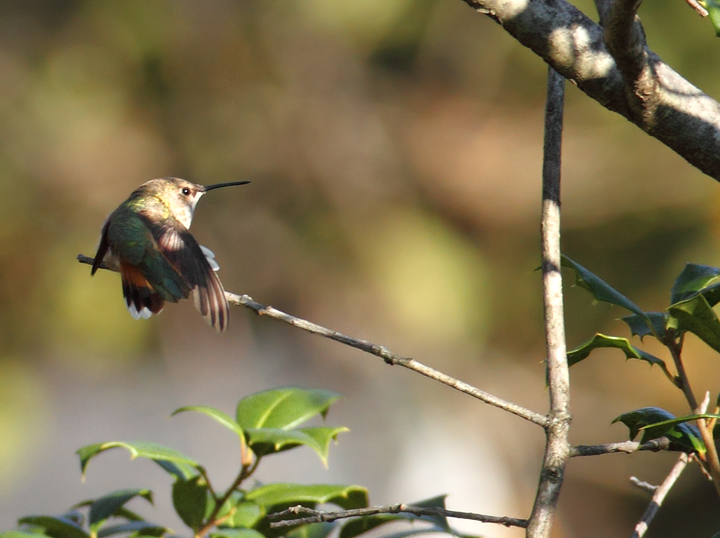 Below: An adult female Rufous Hummingbird at the home of Rick Borchelt<br /> in College Park, Maryland (11/21/2010). Many thanks to Rick for the great find and for the fantastic hospitality. Photo by Bill Hubick.