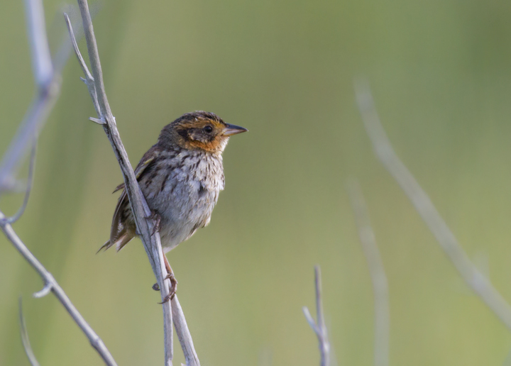 A Saltmarsh Sparrow in coastal Worcester Co., Maryland (6/26/2011). Photo by Bill Hubick.