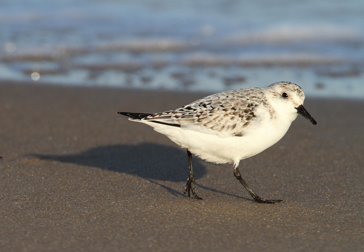 A Sanderling forages beside the north jetty at Ocean City Inlet, Maryland (11/7/2009).