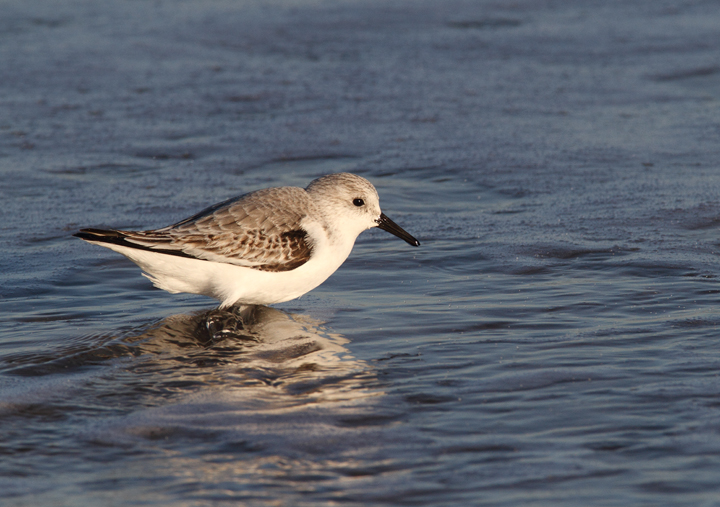 A Sanderling in Ocean City, Maryland (11/29/2009).